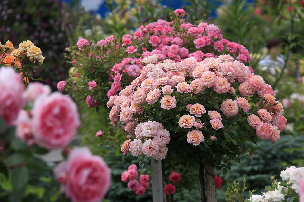 Штамбовые розы в беларуси купить купить розы голландские