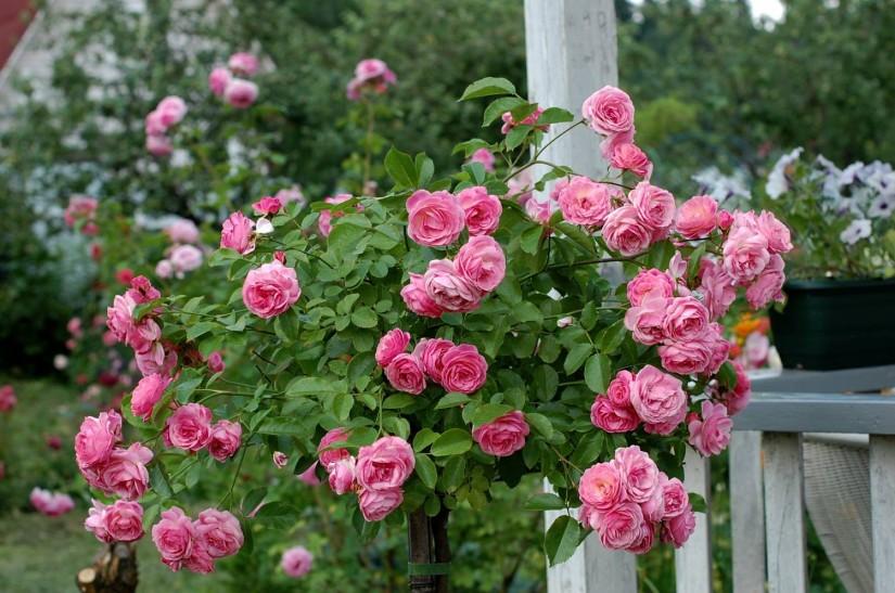Штамбовая роза - Розовая