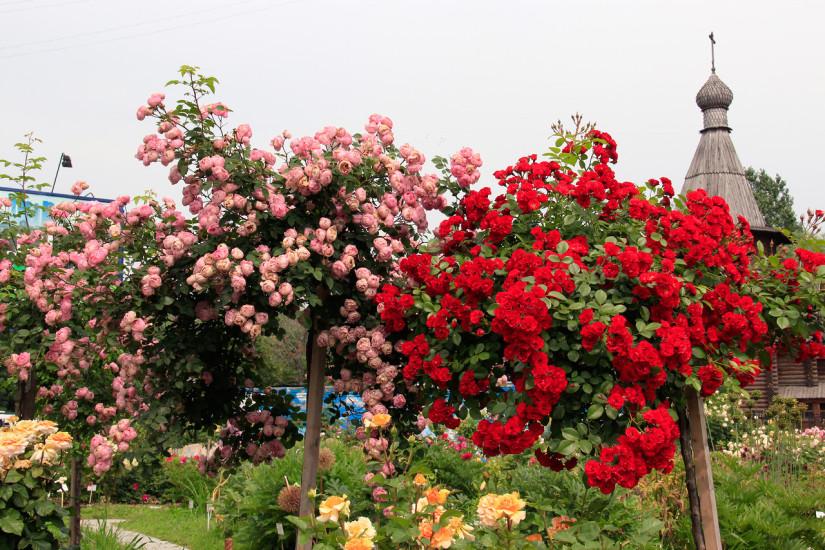 Штамбовая роза - Красная
