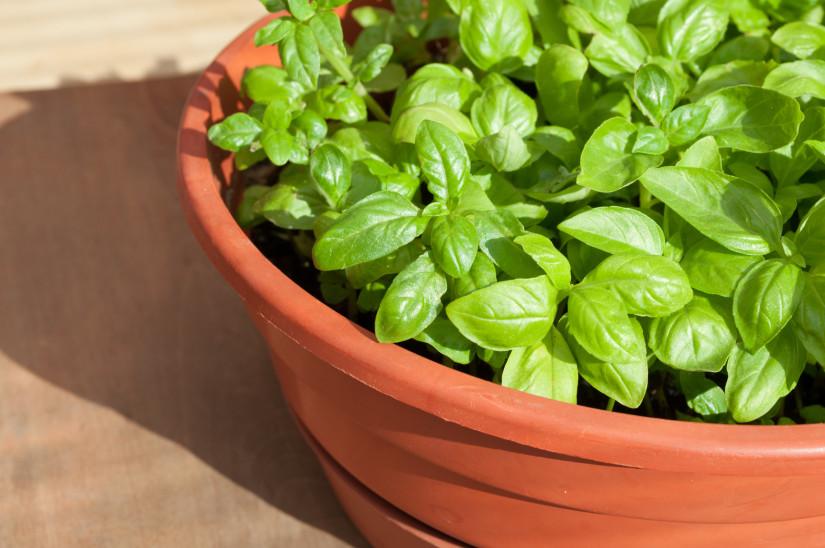 Fresh Green Basil in Pot in Sunlight