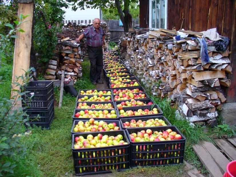 Железов яблоки