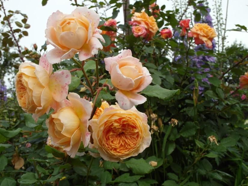 Ностальгическая форма цветка у Crown Princess Margareta