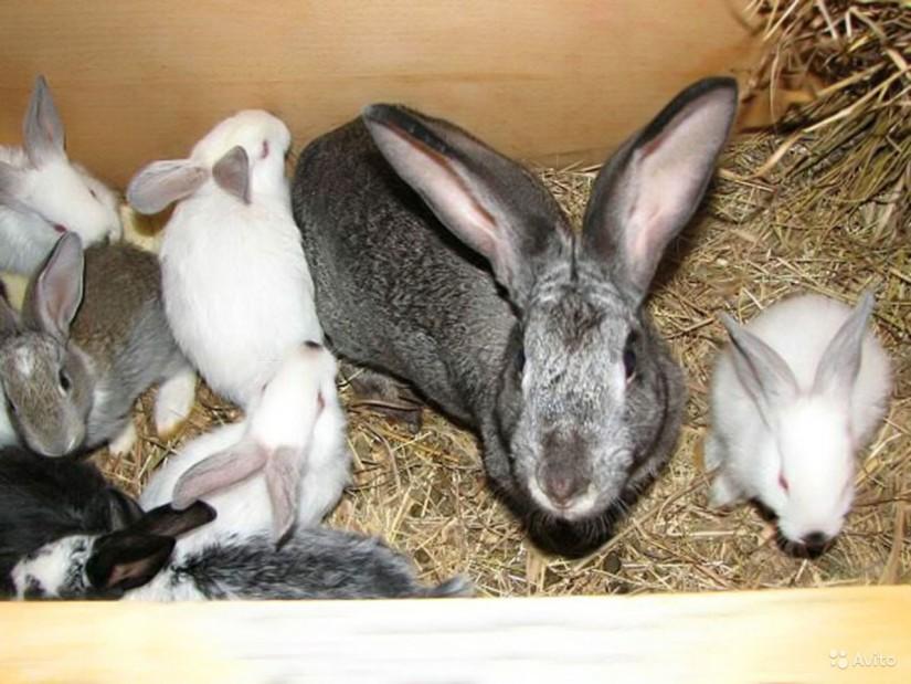 Кролиководство2