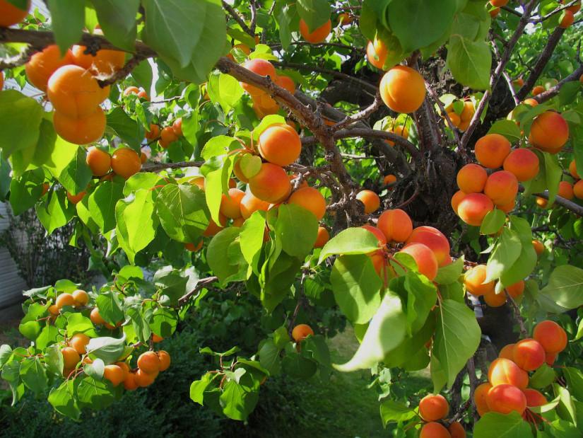 abrikos2