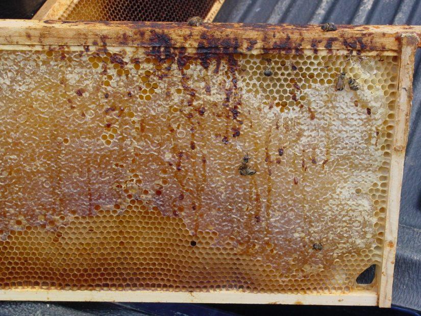 пчелы, больные нозематозом