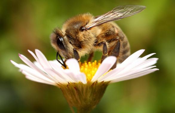 ее величество пчела