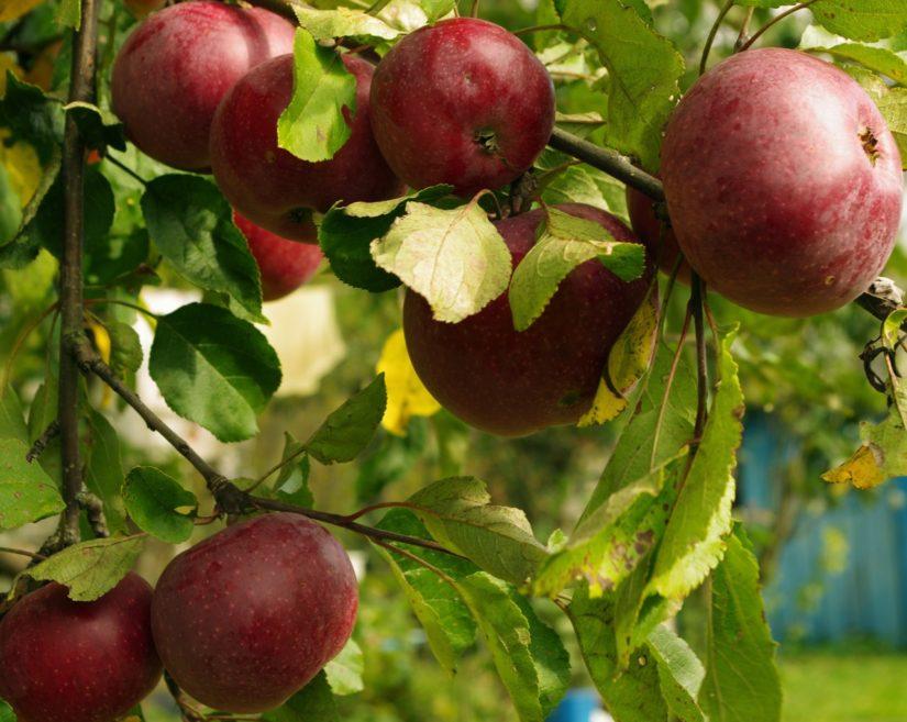 сорт яблок Весялина