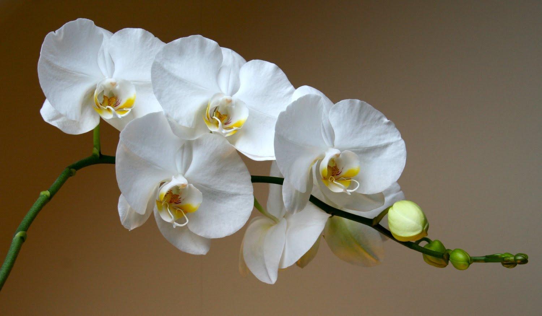 Орхидея фаленопсис в наличии в интернет-магазине! Купить ...