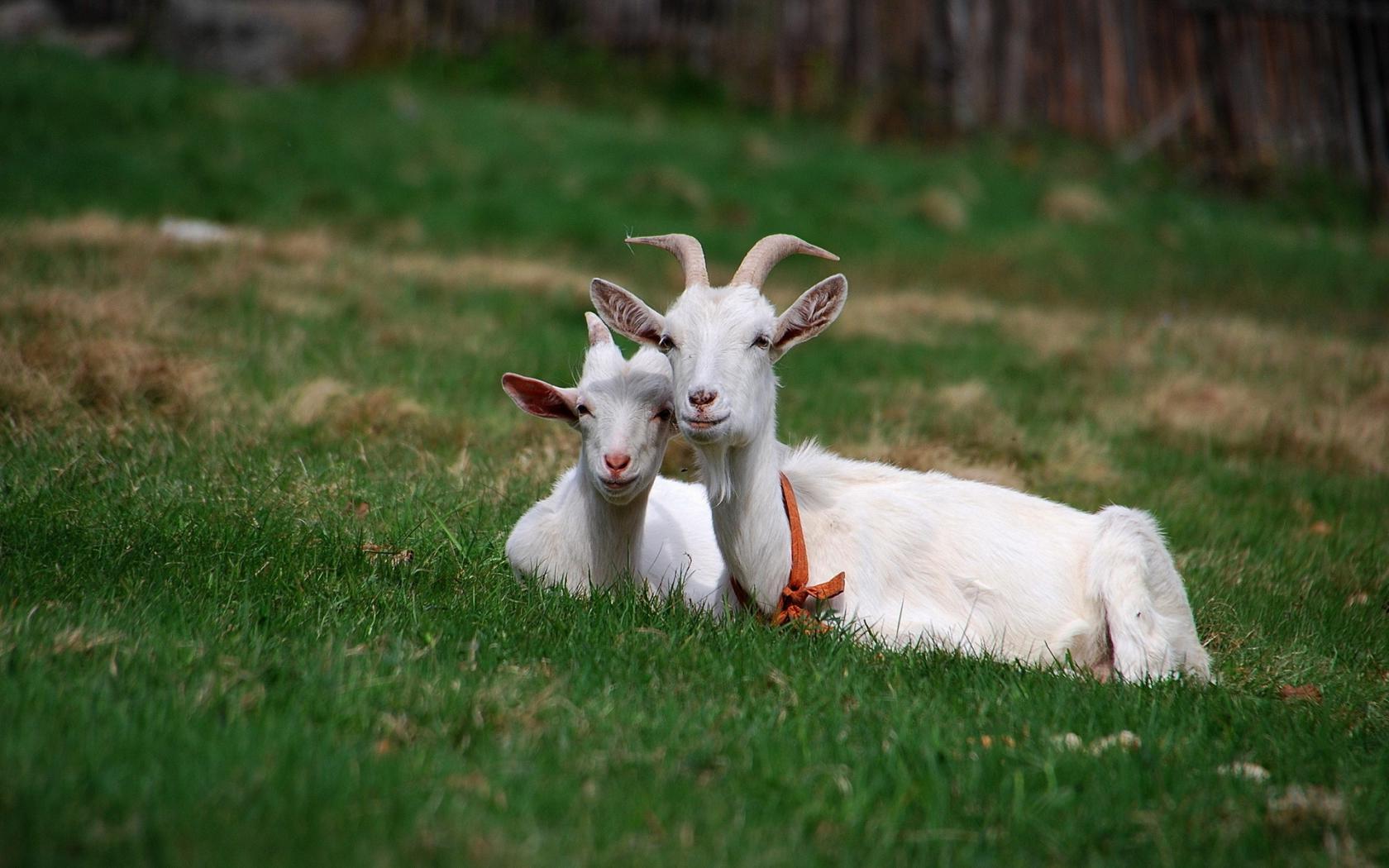 Ложная беременность у козы признаки