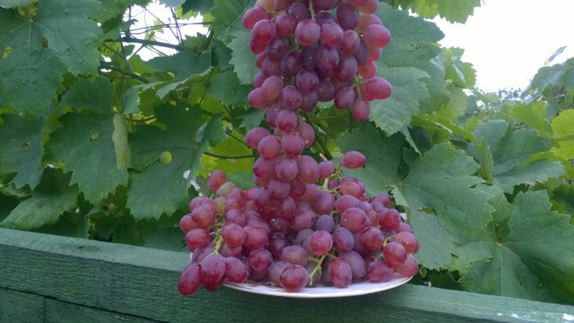 виноград Красный Ранний