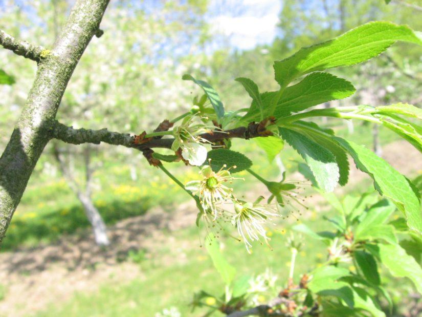 фенофаза сливы конец цветения
