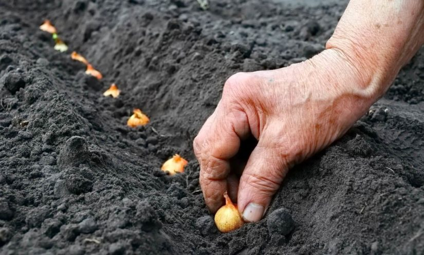 Как сажать севок в зиму 7