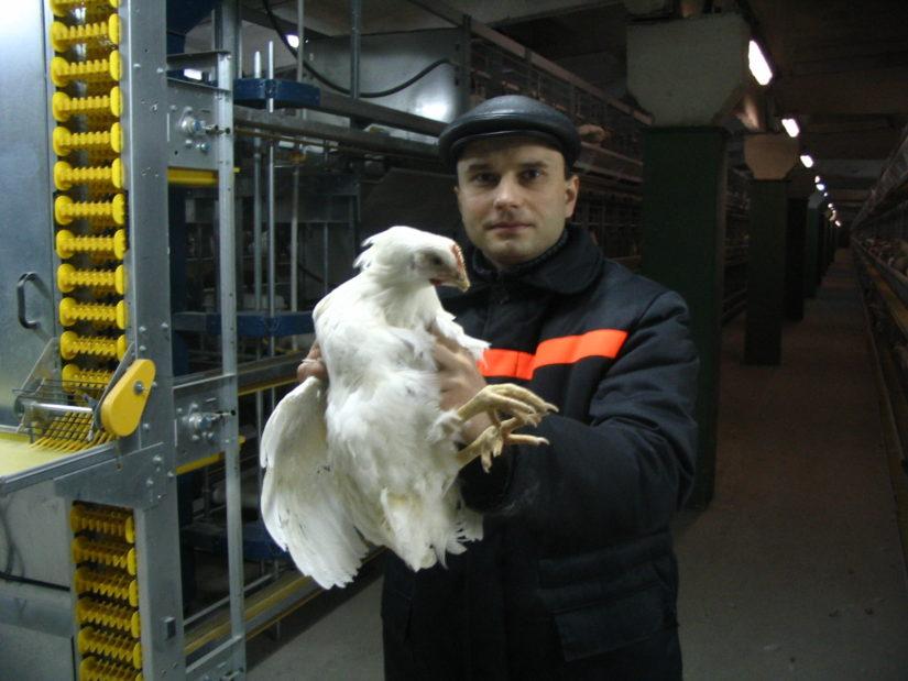 состояние клюва у правильно дебикированной курицы