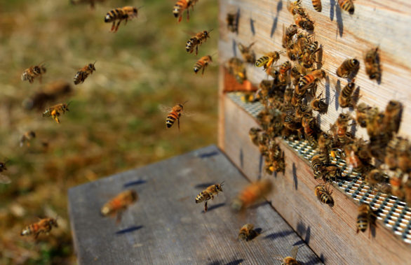 пчелы у улья