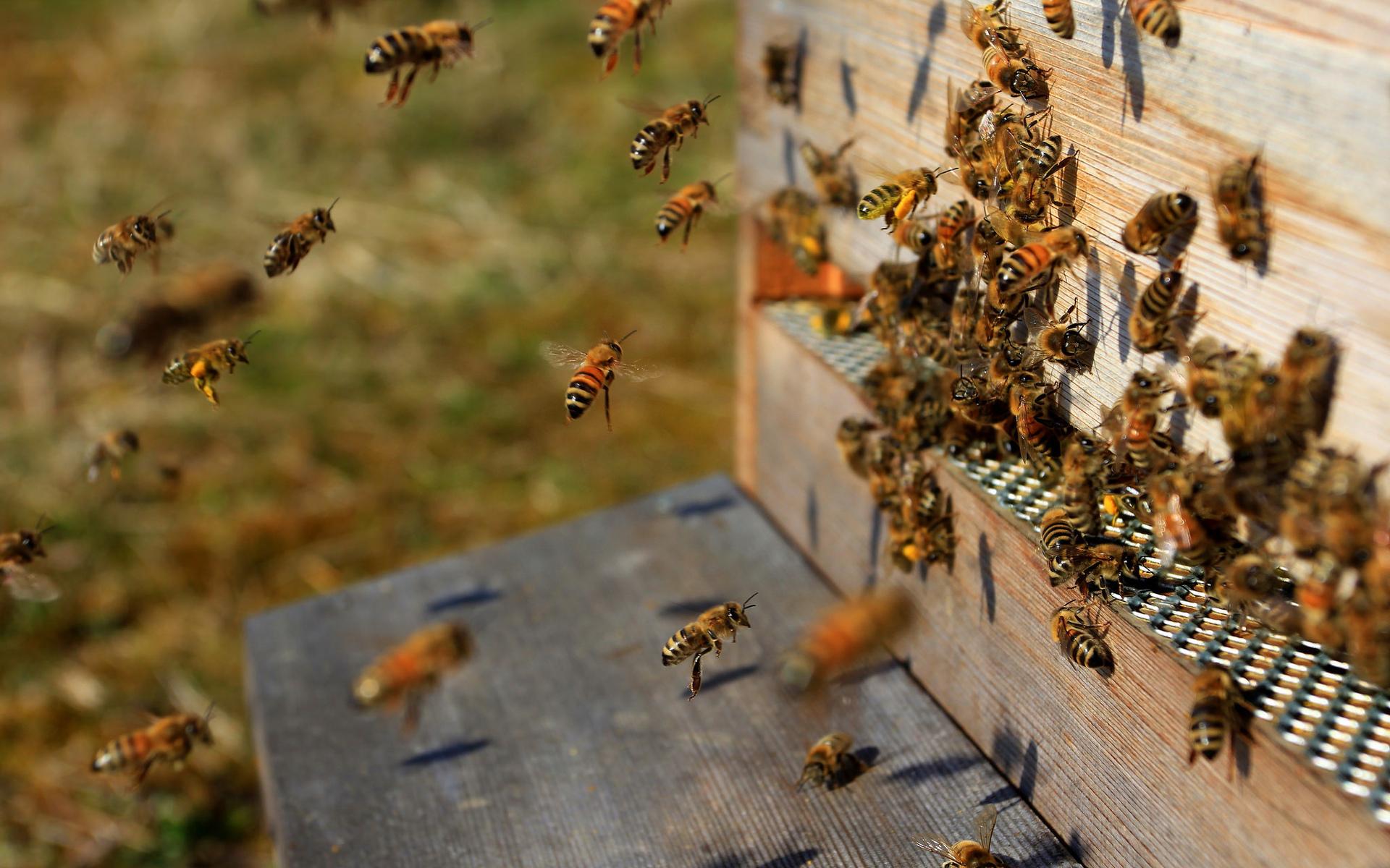 сильная пчелиная семья