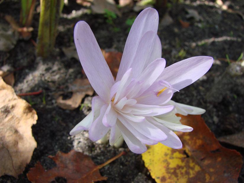 Colchicum autumnale f.flore pleno