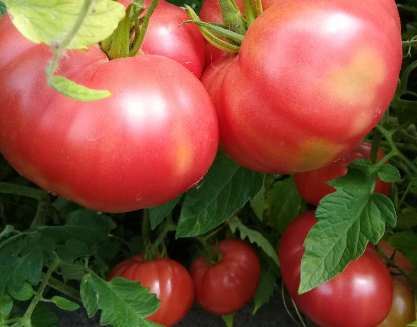 томаты Ковалева