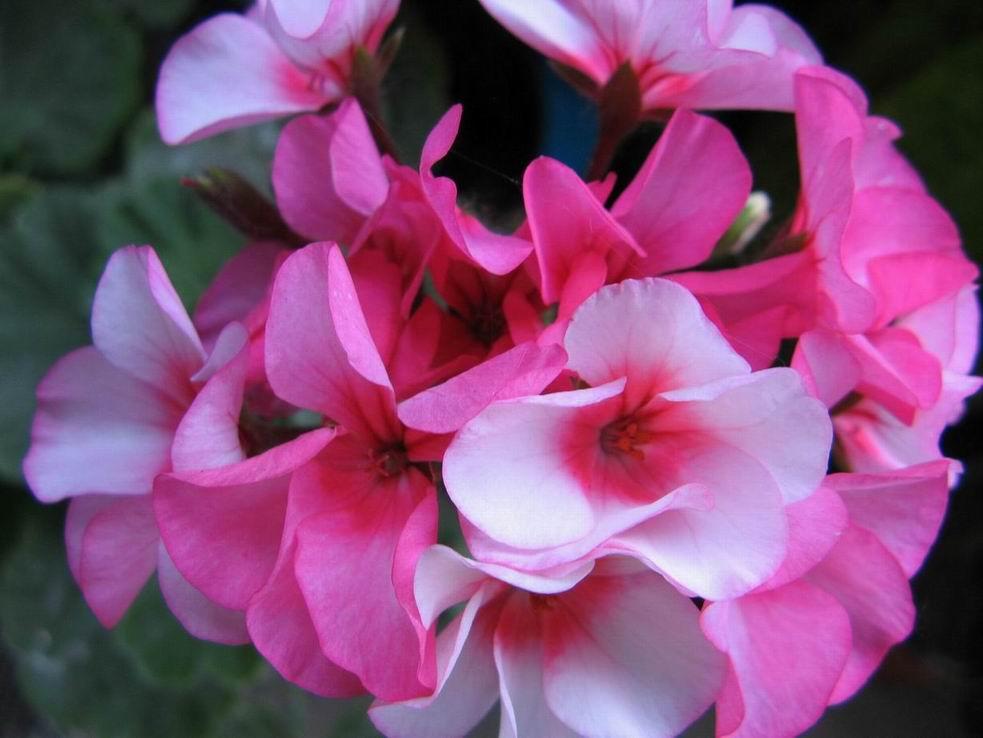 Как сделать так что бы бутоны роз раскрылись 488