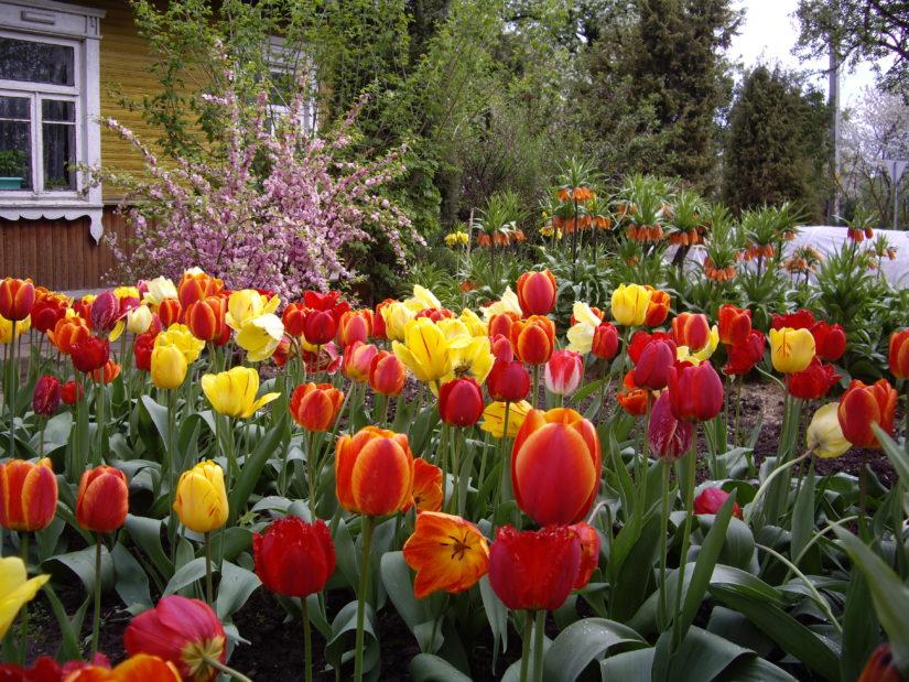 цветы Хвалея