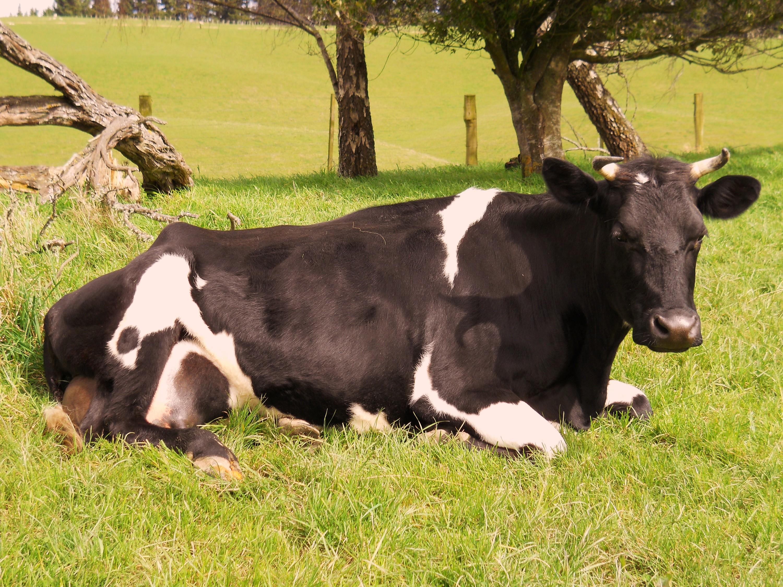 корова хромает на заднюю ногу лечение