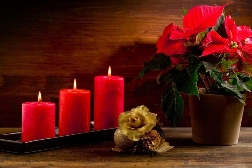 пуансеттия на Рождество