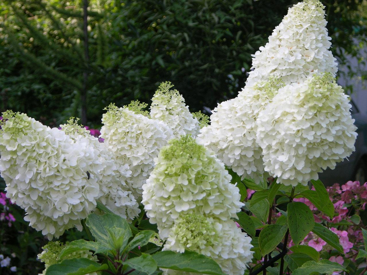 Купить цветы будлею гортензия метельчатая, оптовым ценам электросталь
