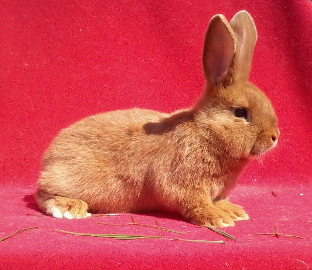 немецкий картинка красного кролика способа посева уборку