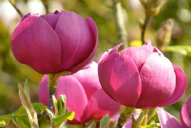 Магнолия. Сорт Black Tulip